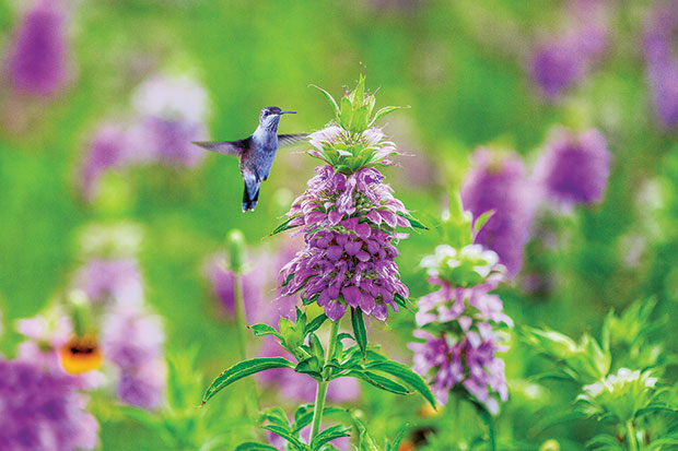Hummingbird-in-Texas-Wildflowers